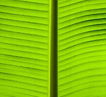 Close-up on Green banan leaf background by Stanciuc