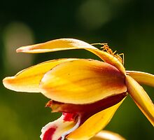 Macro shot of ant walking on a coloured orchid flower by Stanciuc