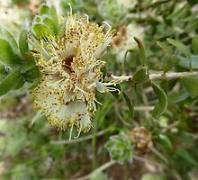 Australian Native Melaleuca megacephala full flower & seeds. by Rita Blom