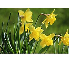 Daffodil Dreams Photographic Print