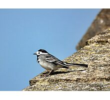 Pied Wagtail Photographic Print