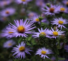 Autumn Asters by Jessica Jenney
