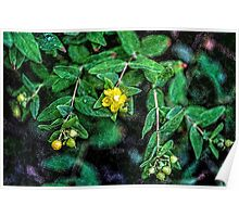 St. John's Wort with Berries Poster