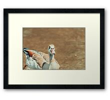 Wild Duck Swimming On Water Framed Print