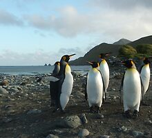 King Penguins, Macquarie Island landscape by harryleviathan