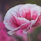 Poppies 2 by Jo Williams