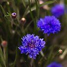 Cornflowers by Jo Williams