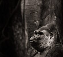 Silverback Gorilla by alan shapiro