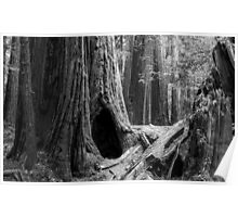 Giant Redwoods Poster