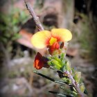 Common Eutaxia Flower - Halls Gap  by forgantly