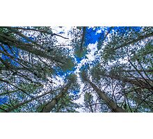 Looking Up at Pines Photographic Print