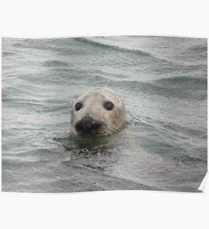 Grey Seal, Farne Islands, Northumberland Poster