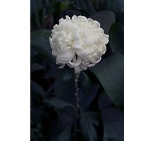 the White Chrysanthemum Photographic Print