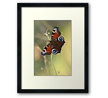Peacock butterfly on a dried flower Framed Print