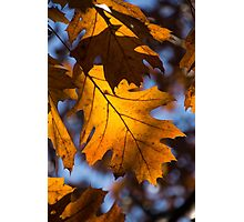 Glowing Autumn - Golden Oak Leaf Photographic Print