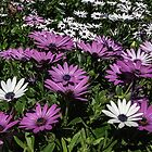 Daisies Leith Park Victoria 20160917 7513 by Fred Mitchell