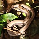 Juvenile slow worm by Rivendell7