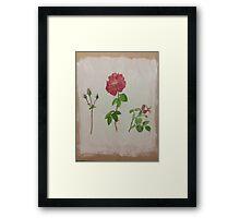 Spray Roses  Framed Print