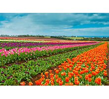 Tasmania Tulips Photographic Print
