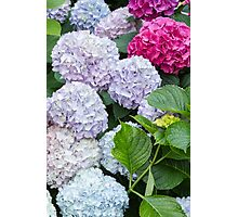 hydrangea in the garden Photographic Print