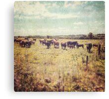 Irish cows Canvas Print