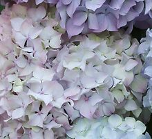 hydrangea in the garden by spetenfia