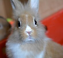 Brown Rabbit - What you looking at? by ejrphotography