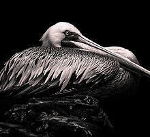 Peruvian Pelican by alan shapiro