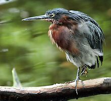 Another Green Heron by Carol Bailey White