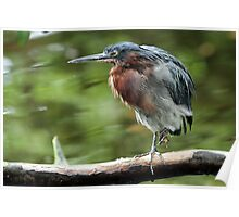 Another Green Heron Poster