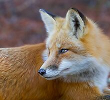 Red fox (Vulpes vulpes) in Algonquin Park by Jim Cumming