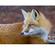Red fox (Vulpes vulpes) in Algonquin Park Photographic Print