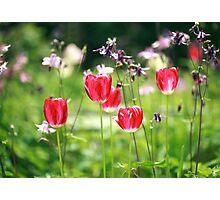 red tulips in summer garden Photographic Print
