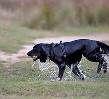 A very wet dog after collecting a tennis ball from a pond by Keith Larby