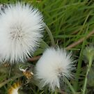 Nature's Powder Puffs by sarnia2