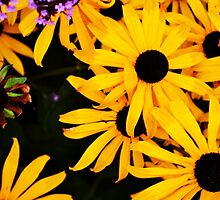 Black and Yellow Bee Daisies by Jessica Reilly