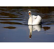 Mute Swan Reflection Photographic Print
