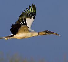 Wood Stork by William C. Gladish