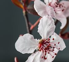 Plum Blossoms by Caitlyn Grasso