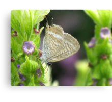 Long-tailed Pea Blue Butterfly Canvas Print