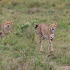 Female Tanzanian Cheetah and her Young by Yair Karelic