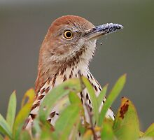 Brown Thrasher by William C. Gladish
