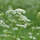Queen Anne's Lace by Ben Waggoner