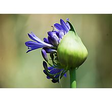 Blue beauty of Lily Photographic Print