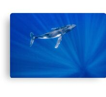 Humpback Whale Floats in Sun Rays Canvas Print