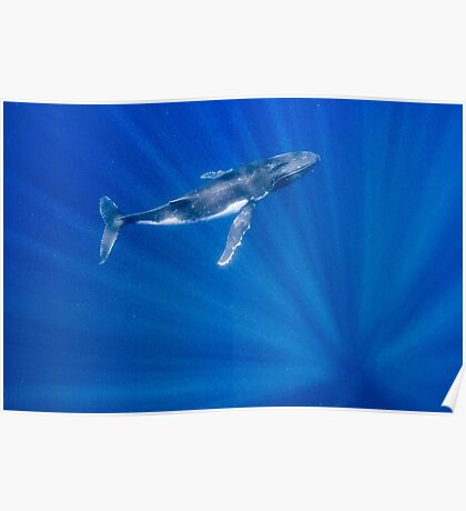 Humpback Whale Floats in Sun Rays Poster