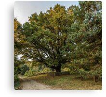 Oldest oaks Canvas Print