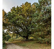 Oldest oaks Photographic Print