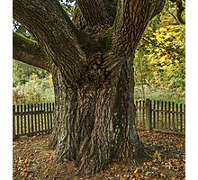 Thick oak trunk Photographic Print