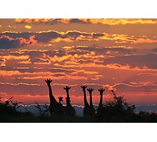Giraffe - Sunset Sky - African Wildlife and Nature Background Photographic Print
